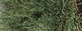 Fine Fescue Sod