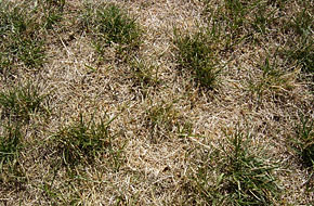 Drought stress to Kentucky Bluegrass