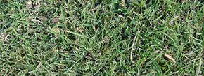 Buffalograss Grass